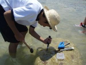 5.8 白保中学生と竿原の垣で穴を掘り稚貝を入れる作業を380個実施